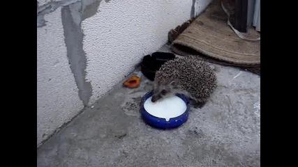 таралеж пие мляко