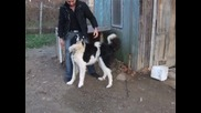 Истинско българско овчарско куче - Перун