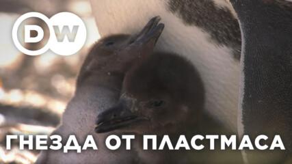 Бебета-пингвини в опасност