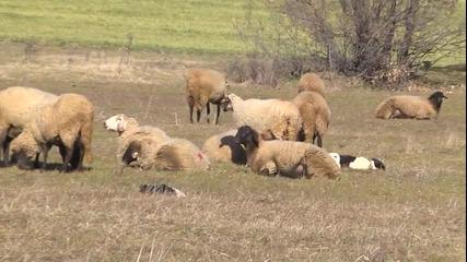 За овцете и голото овчарско куче...някога в Панагюрско -