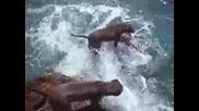 pit bulls от остров Мауи