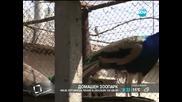 Мъж отглежда пауни в селския си двор - Здравей, България (22.04.2014г.)
