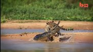 Ягуар напада и убива един от най-големите крокодили в Света - черният Кайман ..
