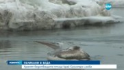 ПЕЛИКАНИ В БЕДА: Хранят бедстващите птици край Силистра с риба