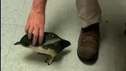 Как реагира едно малко пингвинче, когато го гъделичкат