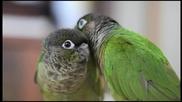 Красивата любов на папагалите.•(уникални са)