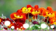 Усмивката на теменужките! ... (music by Tim Janis)