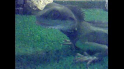 voden drakon