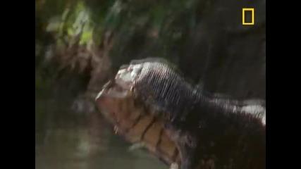 Water Monitor Lizard Wrestling