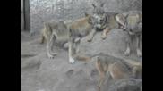 Много вълци на едно място!