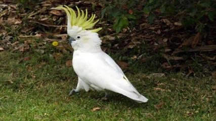 Папагал - детска песничка