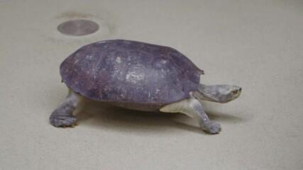 Тайните на зоопарка | Жълтоглави храмови костенурки