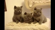 koty brytyjskie-holiday Hollywood i Havanna Blue. - British Shorthair kittens Cattery