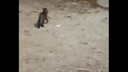 Котка Си Играе С Голям Плъх