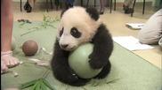 Бебе панда не си дава топката ^.^