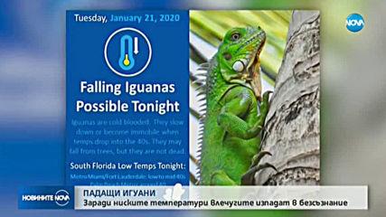 ЗАРАДИ СТУДА: Игуани падат от дърветата във Флорида