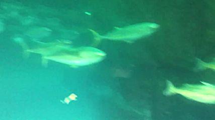 Акули плуват заедно с други морски обитатели в Аквариума на двата океана в Кейп Таун