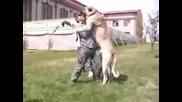 Най - голямото куче във света ! Огромен Кангал