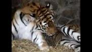 Малки Тигърчета С Майка Си