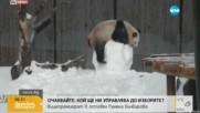 Панда срещу снежен човек – кой ще победи?