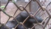 Гарван гробар(corvus corax)