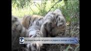 Три редки амурски тигърчета се родиха в зоопарк в Крим