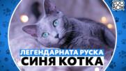 Легендарната руска синя котка: описание на породата