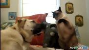 Коте боксьор налага куче
