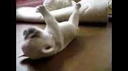 Френски булдог бебе