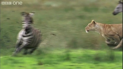 Лъв убива зебра