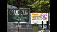 Пускат пушещия орангутан в Индонезия на свобода