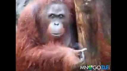 Орангутан пуши трева(смях)