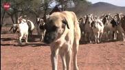 Овчарки помaгат за спасяването популацията на Гепардите