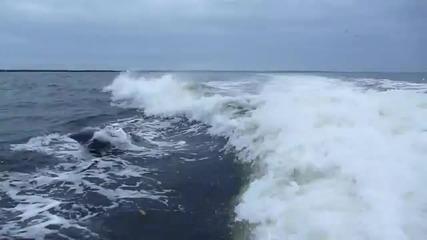 делфини се сблъскват след скок във въздуха , не се нараняват - вижда се на забавеният кадър