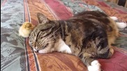 Сънлива котка и пиленце