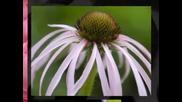 цъфнало е цвете шарено