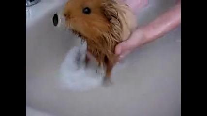 Морско прасенце на баня