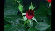 Цъфтене На Рози!