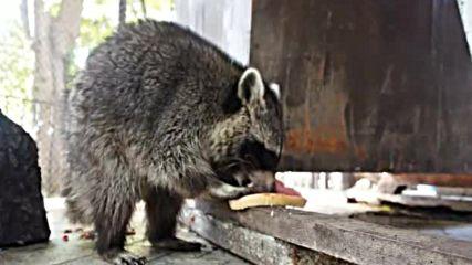 Бебета еноти - най-новите обитатели на варненския зоопарк