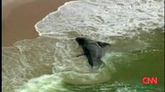 Намерена беше гигантска акула между Gilgo и кедрови плажовете в гр. Вавилон, Ню Йорк.