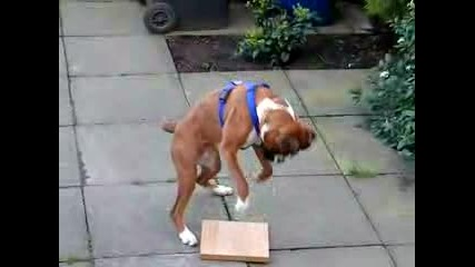 Куче Се Опитва Да Счупи Дъска Ама Нещо ...