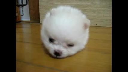 Прекалено сладко кученце - Померан