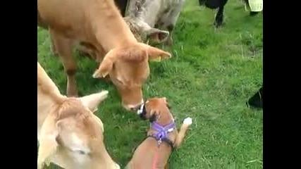 Куче Играе с Крави