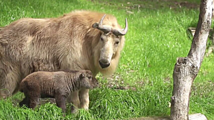 USA: First-ever golden takin born in the western hemisphere at San Diego Zoo
