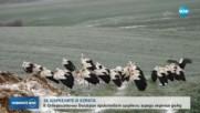 ЗАРАДИ ЛЕДЕНИЯ ДЪЖД: Хора от Северозападна България приютяват щъркели