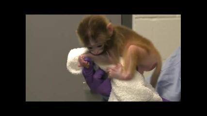Родиха се първите изкуствено създадени маймунчета макак в света