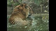 Специален резерват за два тигъра от Суматра беше открит в лондонския зоопарк