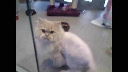 Забавна котка подстригана по необичаен начин.