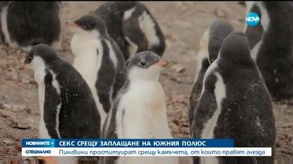 Какви са любовните навици на пингвините?