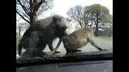 Маймуни го правят на капака на кола